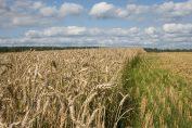 Farine e grano
