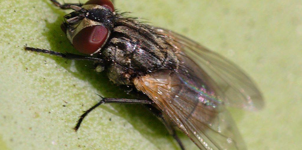 Liberarsi dalle mosche in casa