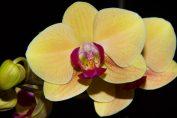 Consigli per coltivare l'orchidea in casa e in giardino