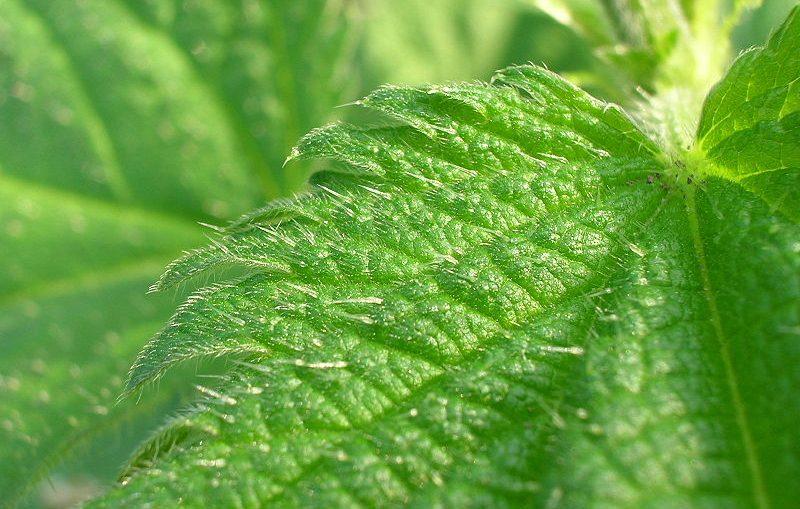 erbacce spontanee commestibili ortica
